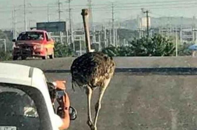 ¡De locos! Avestruz se escapa y sale a desatar el caos en las calles de Tamaulipas (+VIDEO)