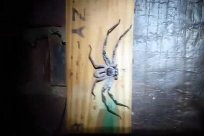 ¡Córrele! ¡Captan araña GIGANTE en Australia! (+VIDEO)