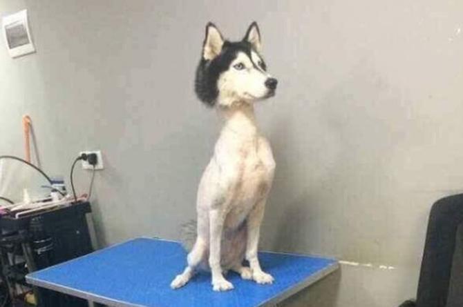 Husky Siberiano es rapado de cuello a patas ¡y se vuelve viral! (+FOTO)