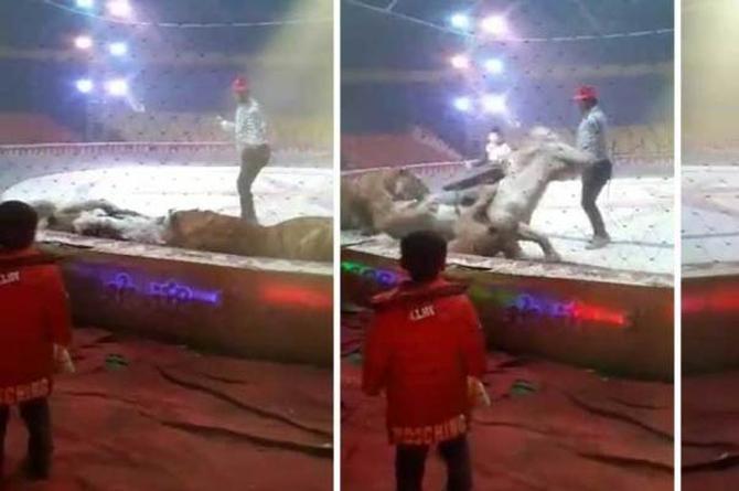 Captan el brutal ataque de una leona y un tigre a un caballo ¡en el circo! (+VIDEO)