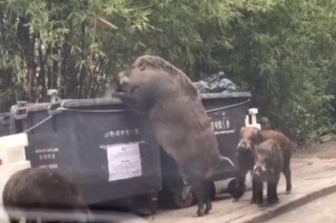 Captan a gigantesco jabalí hurgando entre la basura (+VIDEO)